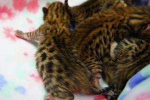 ヒョウ柄の子猫たち