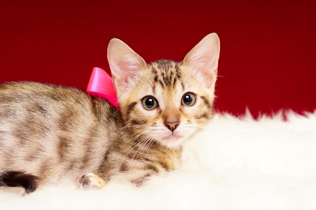 ベンガルの子猫2017年1月24日生まれ 307番ピンクちゃん