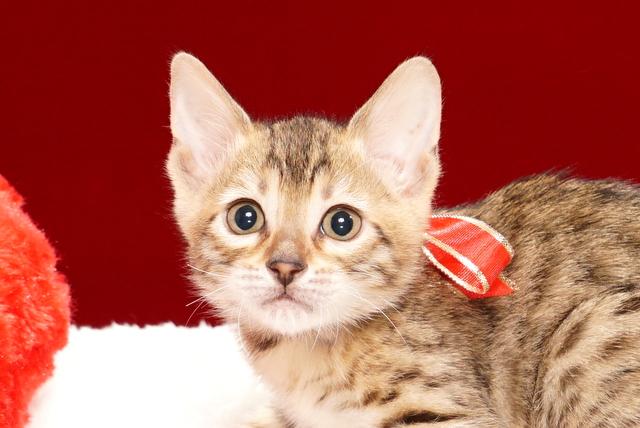 ベンガルの子猫2017年10月15日生まれ 430番あかちゃん