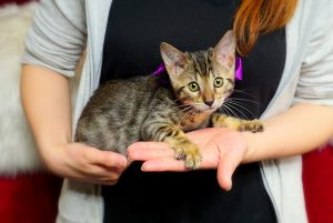 ベンガルの子猫 2017年1月24日生まれ 308番むらさきちゃん