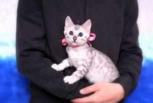 ベンガルの子猫2017年10月21日生まれ 432番ピンクちゃん