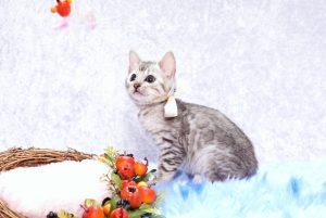 ベンガルの子猫2017年10月21日生まれ 434番ホワイトちゃん