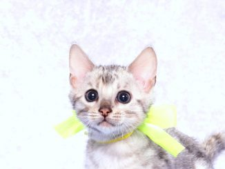 ベンガルの子猫2017年10月21日生まれ 435番イエローくん
