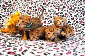 ベンガルの子猫の写真2