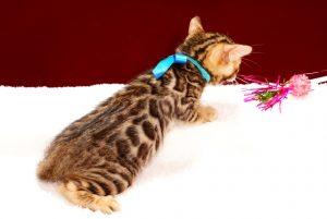 ベンガルの子猫2017年11月29日生まれ 444番ブルー君