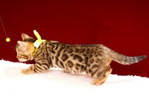 ベンガルの子猫2017年11月29日生まれ 443番イエロー君