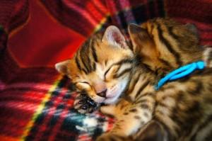ベンガルの子猫の写真4