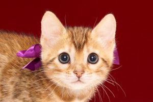 ベンガルの子猫2017年11月30日生まれ 445番むらさきちゃん