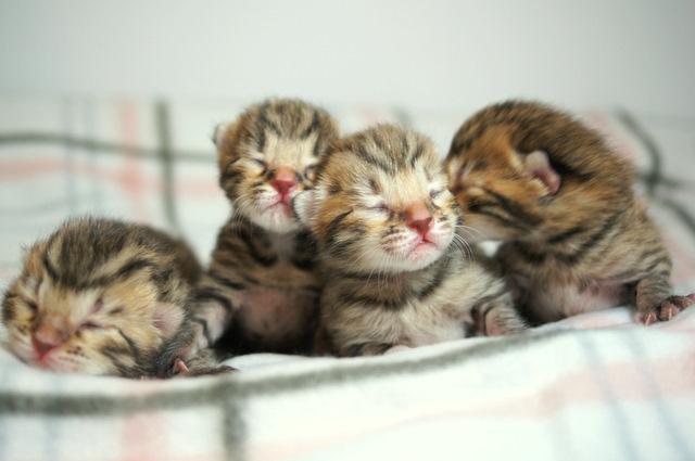 ベンガルの子猫 2012/1/31生まれ
