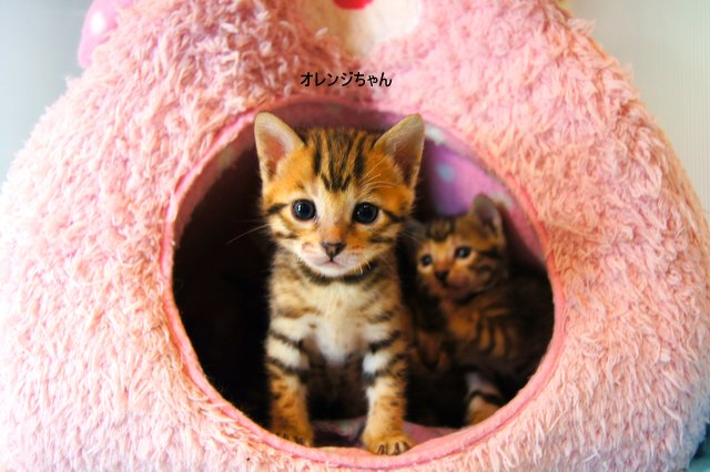 bengal cat 35番オレンジちゃん