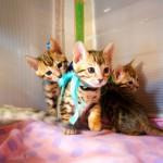 ベンガル子猫たち