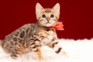 ベンガルの子猫 2017年3月17日生まれ S332番あかちゃん