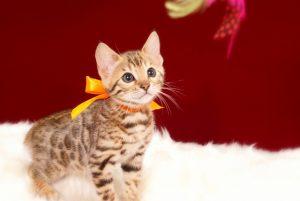 ベンガルの子猫 2017年3月17日生まれ S331番おれんじちゃん