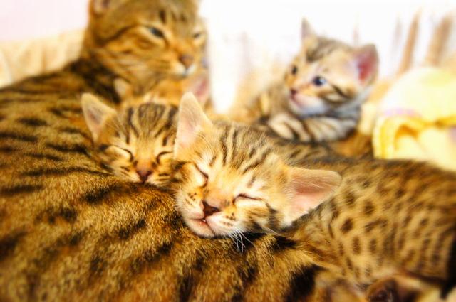 ベンガルの子猫がお昼寝中