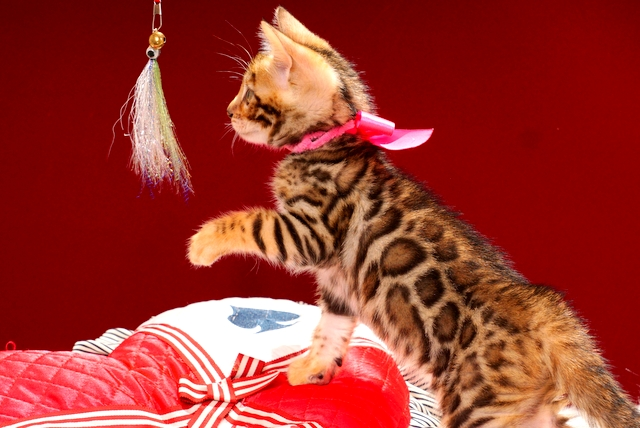 ベンガルの子猫 2017年4月13日生まれ 340番ピンクちゃん
