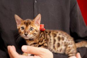ベンガルの子猫 2017年6月19日生まれ 370番レッドちゃん