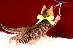 ベンガルの子猫 2017年4月7日生まれ 337番きいろ君