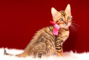ベンガルの子猫 2017年4月7日生まれ 338番ピンクちゃん
