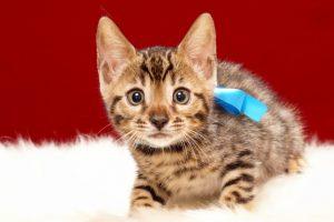 ベンガルの子猫 2017年6月19日生まれ 365番ブルー君