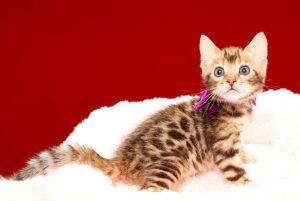 ベンガルの子猫 2017年7月9日生まれ 391番パープルちゃん