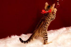 ベンガルの子猫 2017年4月27日生まれ 352番レッド