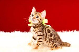 ベンガルの子猫 7月9日生まれ 390番イエローちゃん