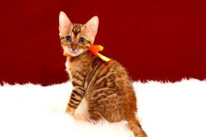 ベンガルの子猫 2017年4月25日生まれ 346番オレンジちゃん