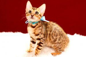 ベンガルの子猫 2017年4月25日生まれ 344番ミズイロ君