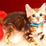 ベンガルの子猫 2019/4/21生 714番アクア オス1