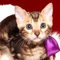 ベンガルの子猫 2019/4/21生 712番パープル メス1