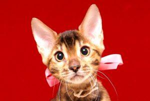 ベンガルの子猫367ピンク2