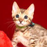 ベンガルの子猫 2019/4/21生 715番グリーン オス2