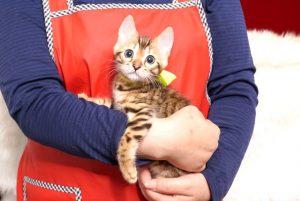 ベンガルの子猫 2019/4/28生 716番イエロー メス1