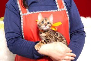 ベンガルの子猫 2019/4/28生 717番7オレンジ メス1