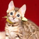 ベンガルの子猫 2019/4/28生 716番イエロー メス2