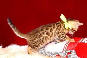 ベンガルの子猫 2019/4/28生 716番イエロー メス4