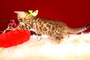 ベンガルの子猫 2019/4/28生 716番イエロー メス5