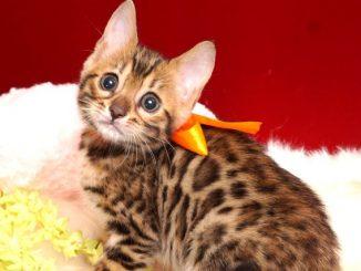 ベンガルの子猫 2019/4/28生 717番7オレンジ メス2