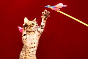 ベンガルの子猫 2017年5月6日生まれ 362番ピンク