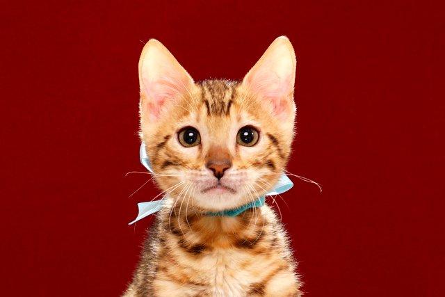 ベンガルの子猫 2017年5月6日生まれ 360番ミズイロ君