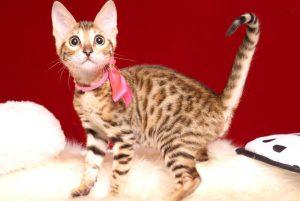 ベンガルの子猫 2019/4/1生 673番ピンク メス1