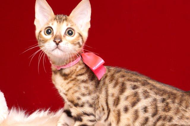 ベンガルの子猫 2019/4/1生 673番ピンク メス2