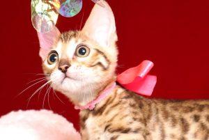 ベンガルの子猫 2019/4/1生 673番ピンク メス3