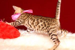 ベンガルの子猫 2019/4/1生 673番ピンク メス4
