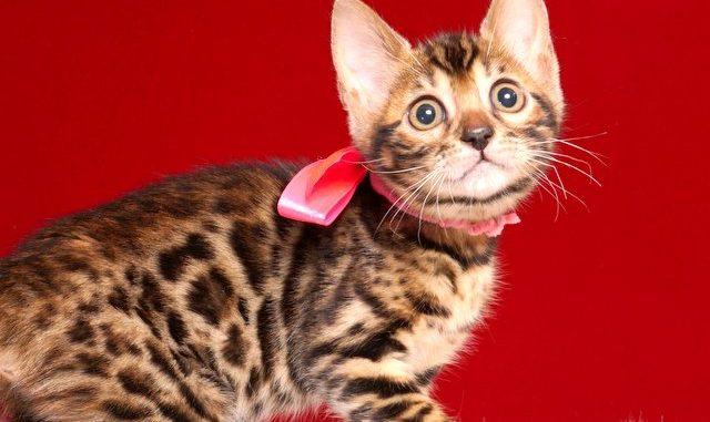 ベンガルの子猫 2019/4/28生 718番ピンク メス1