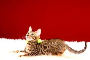 ベンガルの子猫 2017年6月28日生まれ 377番イエロー君