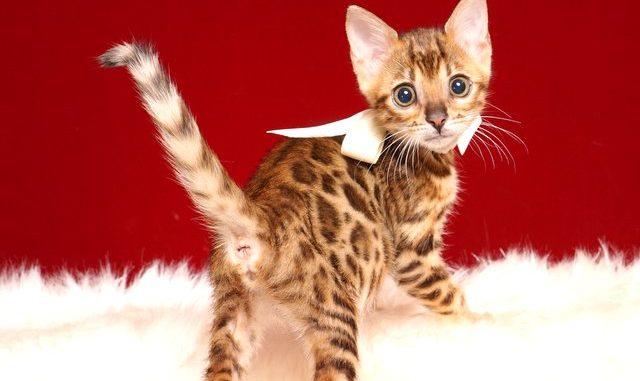 ベンガルの子猫 2019/4/27生 721番ホワイト メス1