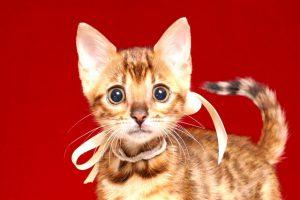 ベンガルの子猫 2019/4/27生 721番ホワイト メス2
