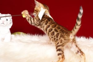 ベンガルの子猫 2019/4/27生 721番ホワイト メス4