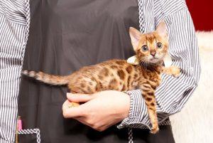 ベンガルの子猫 2019/4/27生 721番ホワイト メス5